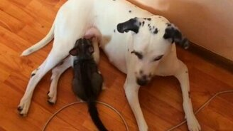 Далматинец, усыновивший котёнка смотреть видео прикол - 0:35