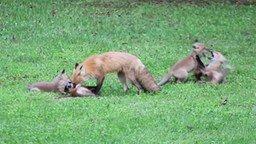 Смотреть Лисята играют с мамкой