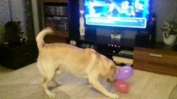 Смотреть Собака радуется воздушным шарам