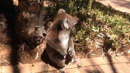 Смотреть Крик отчаяния коалы