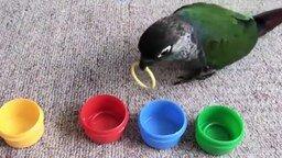 Попугай, различающий цвета смотреть видео прикол - 1:14