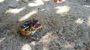 Лягушка-рогатка защищается смотреть видео прикол - 0:34