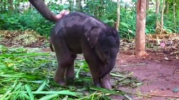 Смотреть Слонёнок пытается почесать хобот