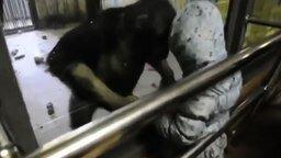 Девочка против шимпанзе смотреть видео прикол - 0:55