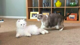 Смотреть Реакции кошек на кота-робота