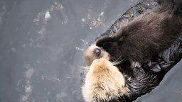 Смотреть Мать и её каланёнок