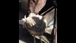 Погладь овечку! смотреть видео прикол - 0:30