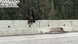 Смотреть Медведица забирает медвежонка с проезжей части