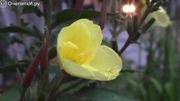 Смотреть Цветок распускается за 40 секунд
