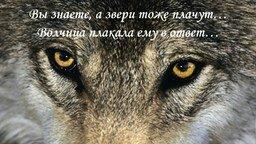 Смотреть Любовь волка и волчицы