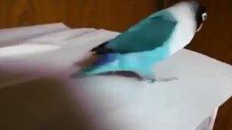 Попугай-ирландец смотреть видео прикол - 0:30