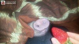 Свинья и клубника смотреть видео прикол - 0:45