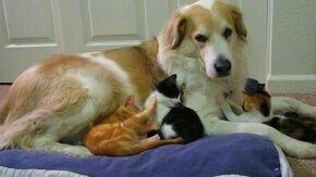 Смотреть Собака и котятки
