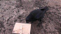 Смотреть Домашний ворон - мышелов