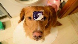 Смотреть Собака, по дому помогака
