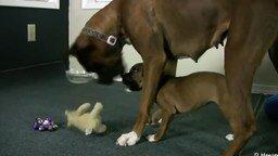 Смотреть Боксёрша играет со щенятами