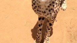 Смотреть Как мяукает гепард