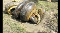 Смотреть Кто кого: питон и крокодил