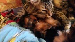 Смотреть Кот вылизывает кутёнка