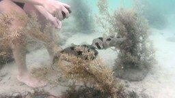 Смотреть Парень спасает рыбу-ежа