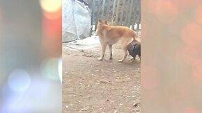 Смотреть Боевой петух привязался к собаке