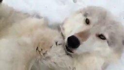 Милый домашний волк смотреть видео прикол - 0:34