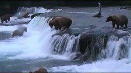 Смотреть Медведи на водопаде охотятся