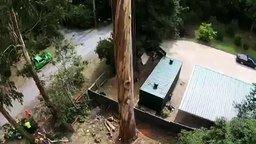 Смотреть Спиливание 40-метрового дерева