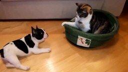 Щенок против опытной кошки смотреть видео прикол - 0:51