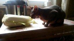 Смотреть Сфинкс поедает листья капусты