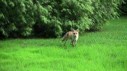Панический крик лисы смотреть видео прикол - 1:01