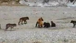Смотреть Медведица защищает медвежат от стаи волков