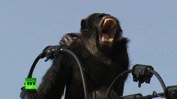 Смотреть Как ловили шимпанзе