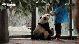 Смотреть Панды выпрашивают молоко