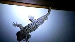 Смотреть Как геккон разговаривает