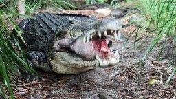 Смотреть Крокодил ест свиную голову