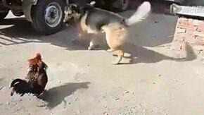 Смотреть Петух задирается к овчарке