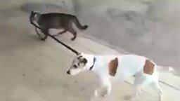 Смотреть Кошка ведёт пса на поводке