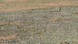 Смотреть Погоня кобры за песчанкой