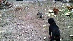 Смотреть Смелый кролик гоняет ротвейлера