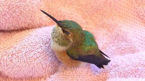 Смотреть Кормёжка птенца колибри