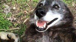 Волк любит, когда ему чешут бочок смотреть видео прикол - 1:07