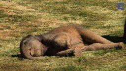 Смотреть Насильное пробуждение слонёнка