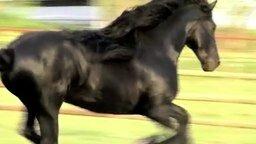 Смотреть Красивый вороной конь