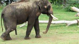 Смотреть Слон почесал свой живот