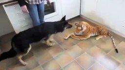 Смотреть Овчарка против игрушечного тигра