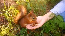 Смотреть Белка ест орешки с руки