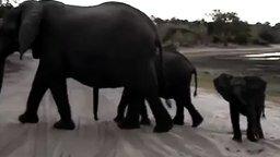 Слонёнок чихнул и испугался смеха смотреть видео прикол - 0:26