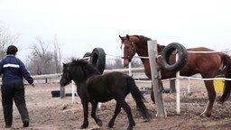 Смотреть Пони и большой конь знакомятся