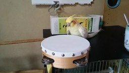 Смотреть Пернатый барабанщик